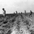 Irish Potatoes in Calcasieu Parish Louisiana in the 1930s