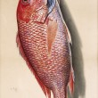 Nature Morte: Red Snapper
