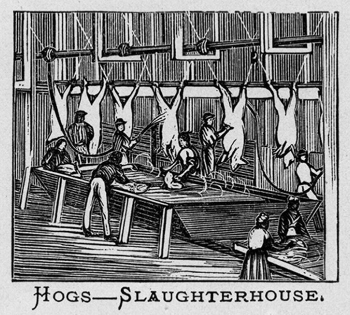 Hogs in the Slaughterhouse