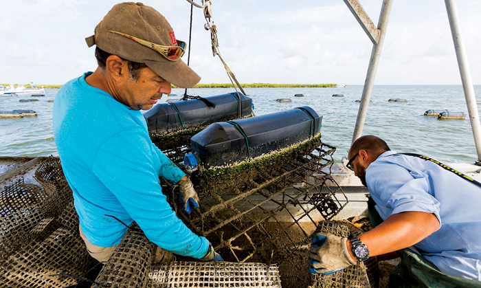 Marcos Guerrero and his son Boris return their triploid oysters to Caminiada Bay to continue growing. Photo by Rick Olivier