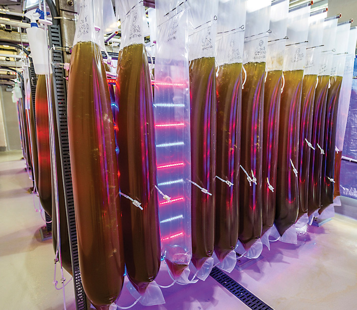 Giant tubes of algae are brewed on premises to feed Dr. Supan's special oysters. Photo by Rick Olivier