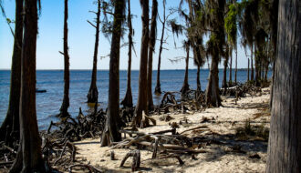 Cypress Trees at Fontainebleau State Park