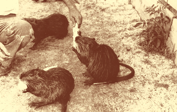 Nutria were kept in pens at the McIlhenny estate when the first shipment of the animals arrived in the late 1930s, purchased from a breeder in St. Bernard Parish. E.A. McIlhenny Collection, Avery Island, La.