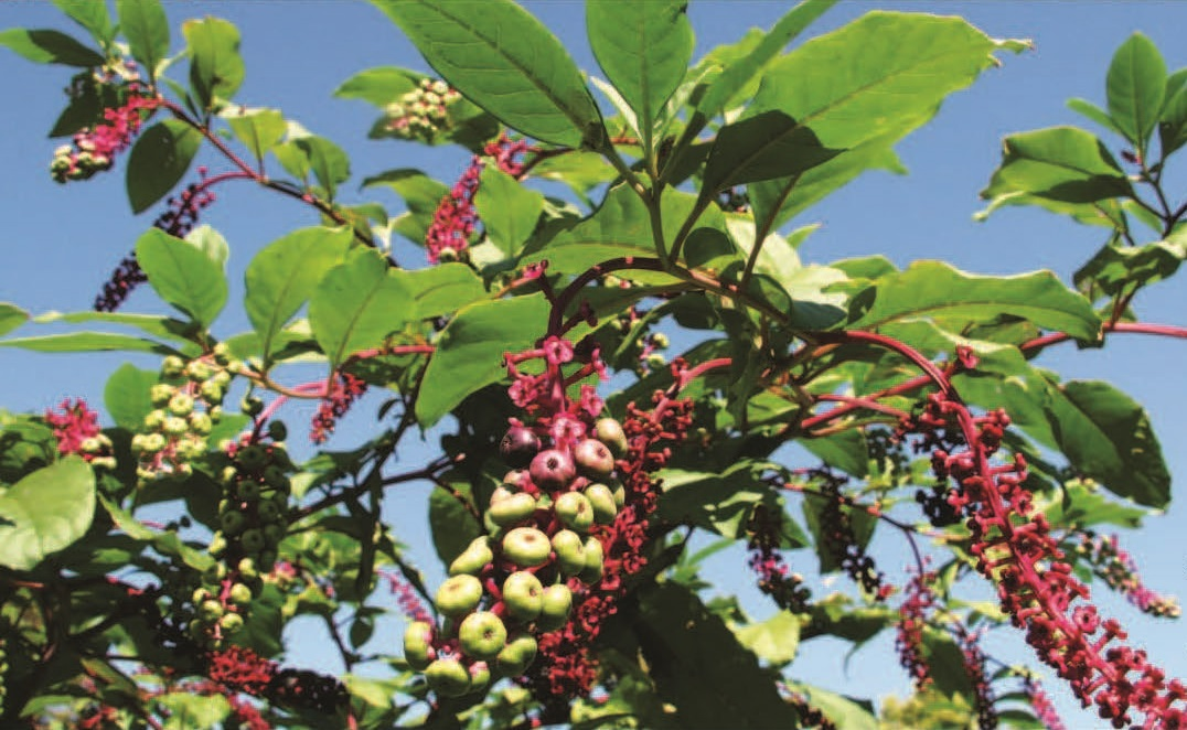 Poke Sallet: Pretty and Poisonous