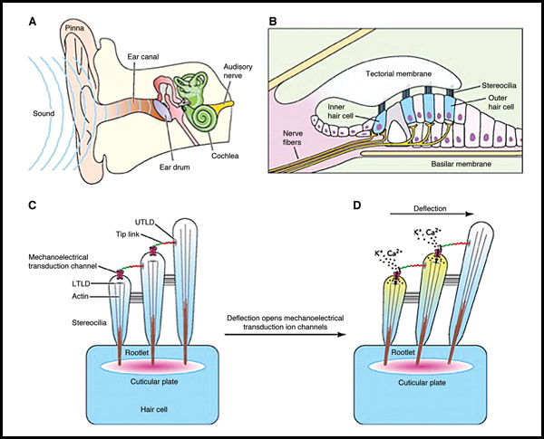 Normal hearing results when vibrations are transmitted through the ear to hair cells in the cochlea. The stereocilia on the hair cells are misformed in Usher syndrome due to a variation in the protein harmonin. Courtesy of Lifeng Pan and Mingjie Zhang